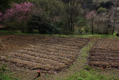 桜が散った畑1