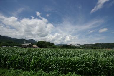 とうきび畑1