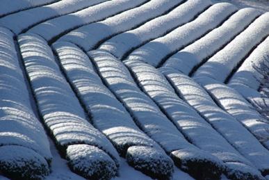 雪が積もった茶畑