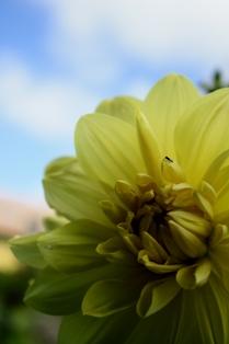 ダリア yellow 928 2010