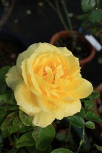 rose 1019 2010