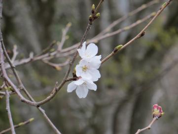 3-20役場桜