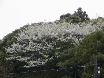 4-1役場桜1