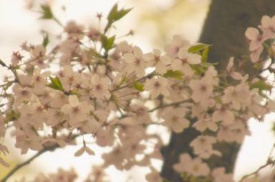 桜 公園UP