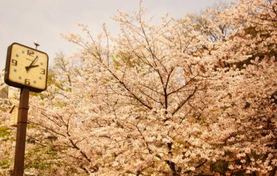 桜 近所の公園