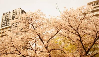 桜 ビルの谷間
