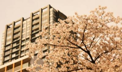 桜 都心の桜