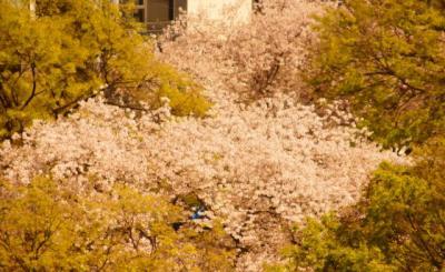 バルコニーの桜
