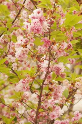 あ38松前琴糸桜