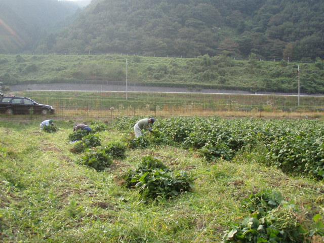 黒豆畑収穫