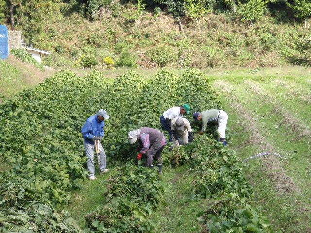 黒豆大豆の収穫