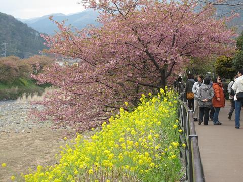 河津桜、菜の花と