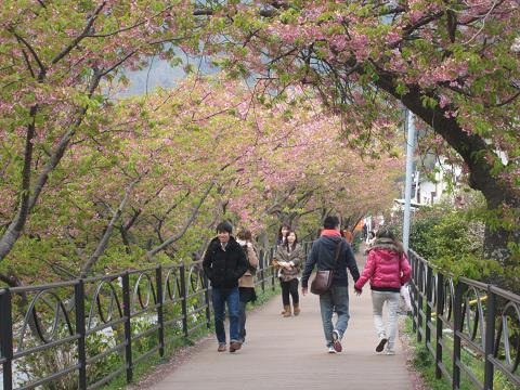 河津桜、葉桜
