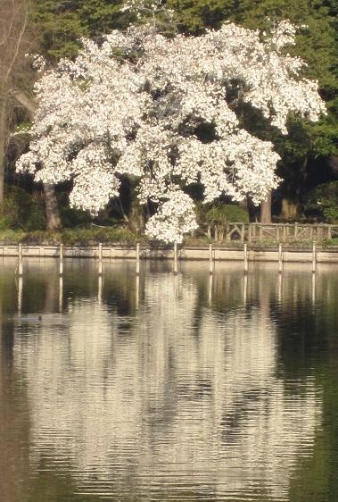 善福寺公園130319こぶし水面