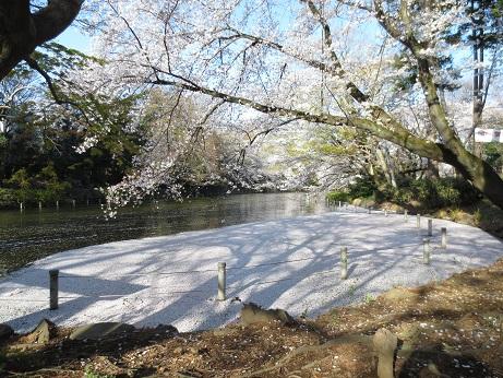 井の頭公園の桜0326