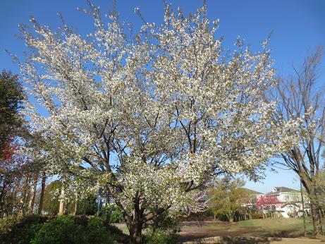 立野公園、山桜