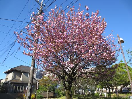 八重桜、八幡通公園