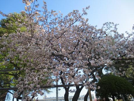 八重桜、四小
