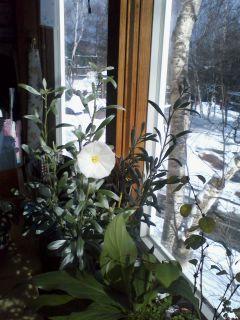 雪景色に咲く昼顔