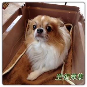 20121225-チワワ-0002