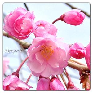 0003-枝垂桜