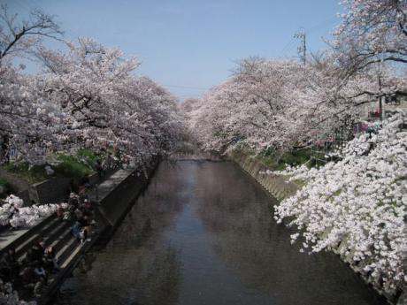 五条川桜並木