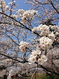 鶴岡公園 桜(2013) 1