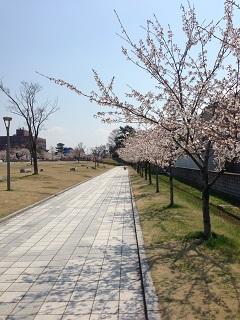鶴岡公園 桜(2013) 3