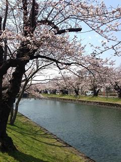鶴岡公園 桜(2013) 4