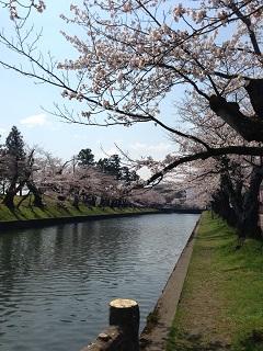 鶴岡公園 桜(2013) 5