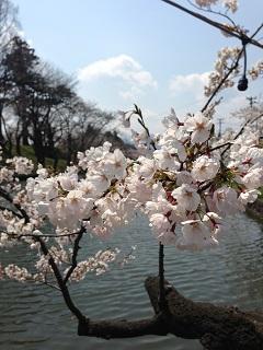 鶴岡公園 桜(2013) 6