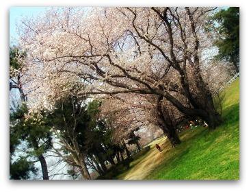 武庫川の桜