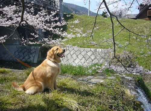 桜見る(100406)
