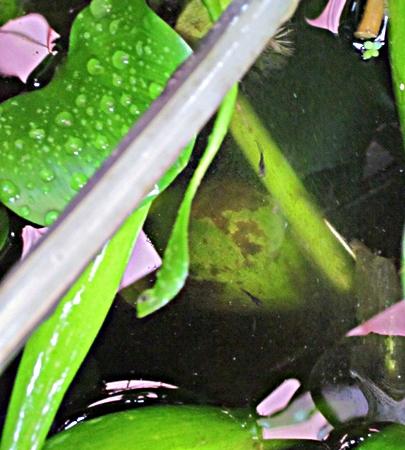 七六 池の稚魚 二