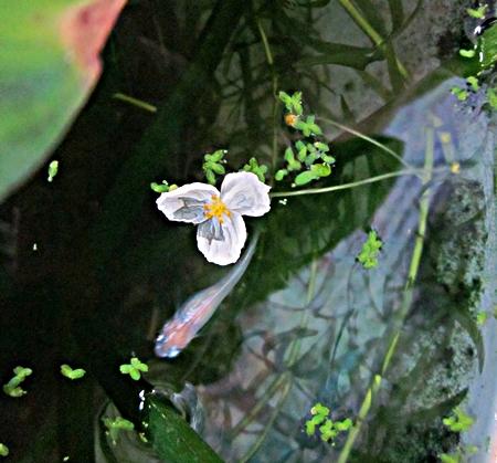 七八 アナカリスの花とメダカ s