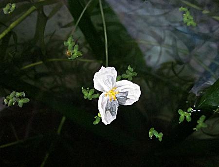 七八 アナカリスの花