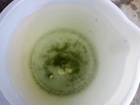 七二三 オールドオレンジ 掃除の水 稚魚が