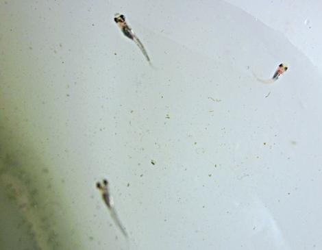 七二三 オールドオレンジ容器の掃除 吸い込まれた稚魚三匹