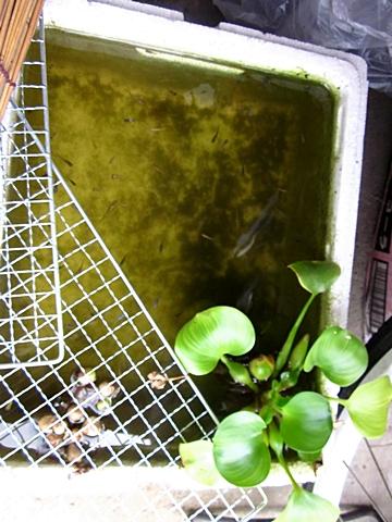 掃除前の稚魚容器