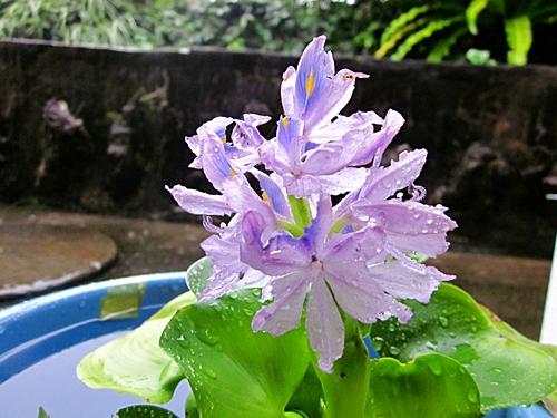 八二五 ホテイの花
