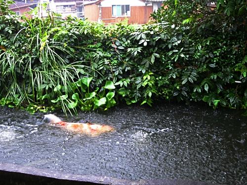 八二五 鯉の池 雨