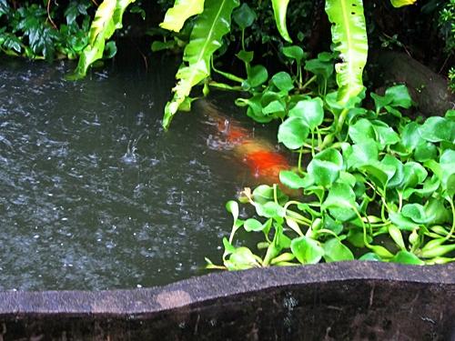 八二五 鯉の池 雨 二
