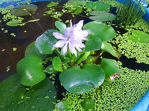 八二六 タライのホテイ花 全体