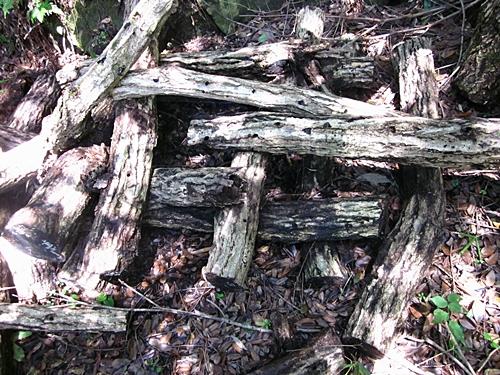 八二七 シイタケの木 崩れる