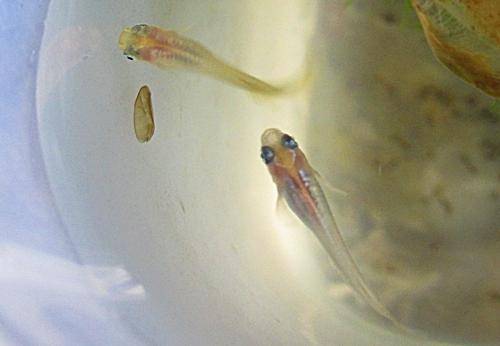稚魚 透明燐とオレンジ