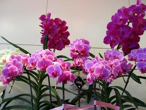 十二八 花屋 胡蝶蘭