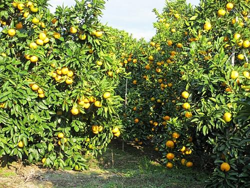 十一 一 蜜柑 畑の一部