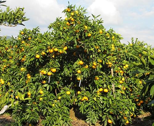 十一 一 蜜柑の木