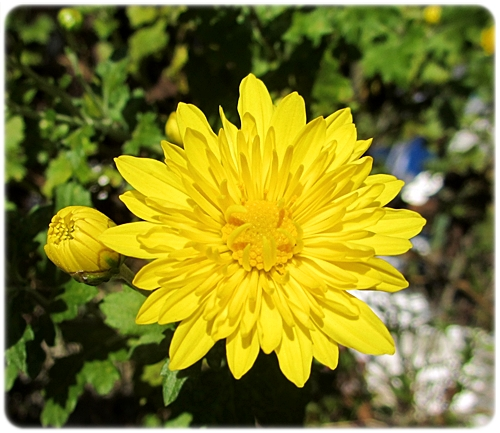 菊の花 アップ