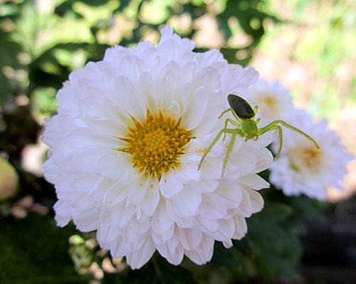 白菊とくも